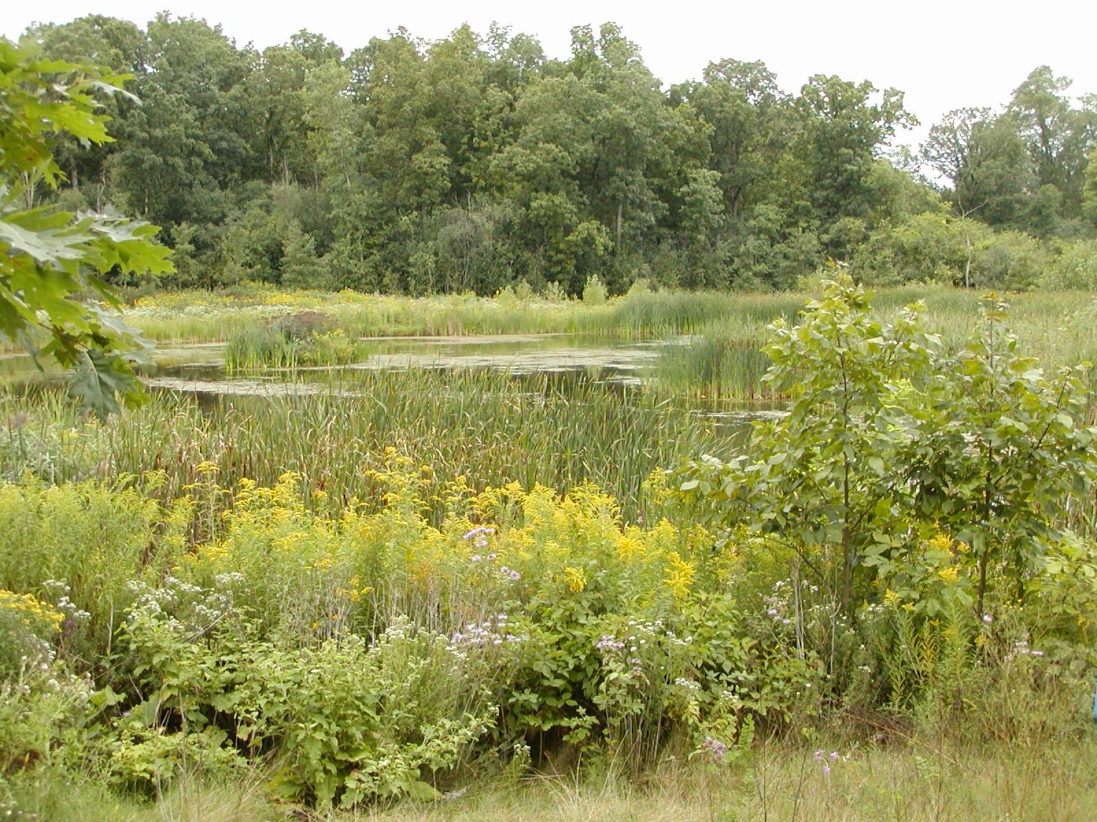 Native plants around retention pond