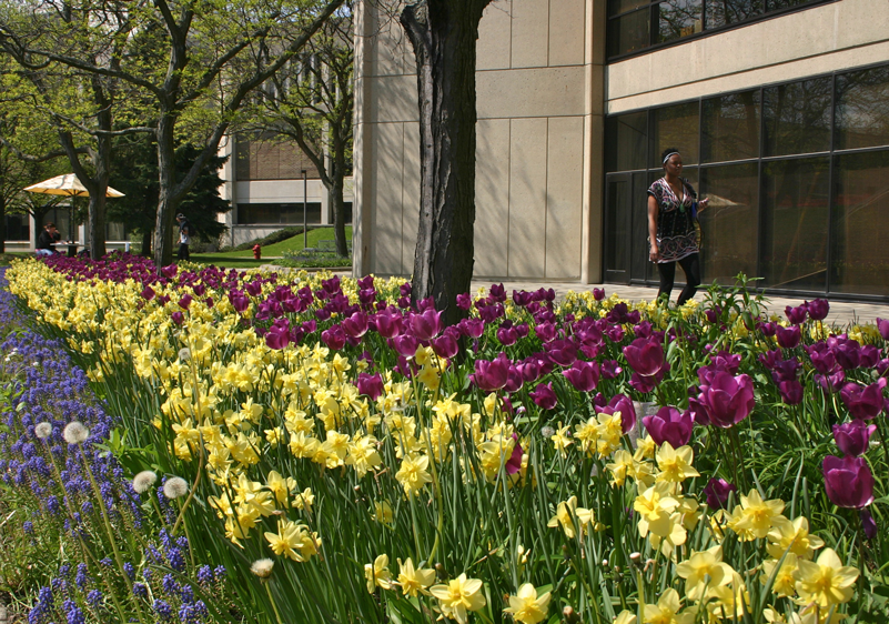student walking on campus among tulips